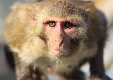 Rhesus monkey. California National Primate Research Center breeding colony, UC Davis, California. ©KathyWestStudios.