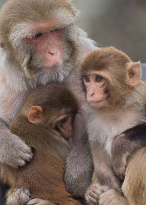 Rhesus monkey female and offspring. California National Primate Research Center breeding colony, UC Davis, California. ©KathyWestStudios.