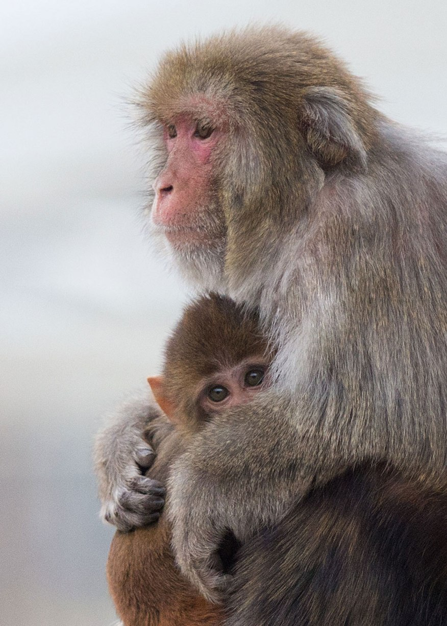 Rhesus monkey female and infant ©KathyWestStudios