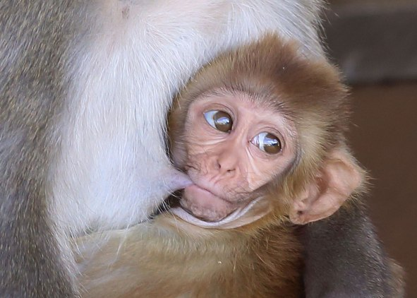 Rhesus monkey infant. Captive. California National Primate Research Center breeding colony, UC Davis, California. ©KathyWestStudios.