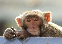 Rhesus monkey male ©KathyWestStudios