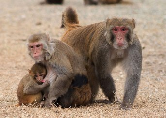 Rhesus monkey family. California National Primate Research Center breeding colony, UC Davis, California. ©KathyWestStudios.
