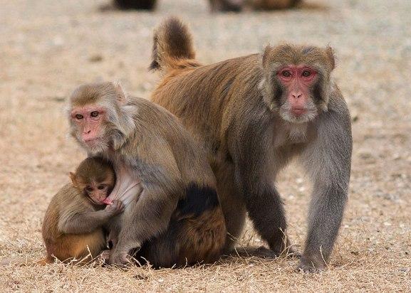 Rhesus monkey family ©KathyWestStudios