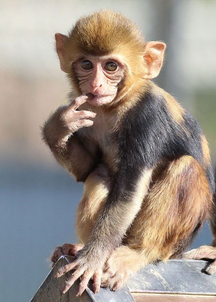 Rhesus monkey infant ©KathyWestStudios