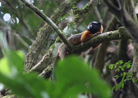 Golden mantled tamarin, Tiputini Biodiversity Station