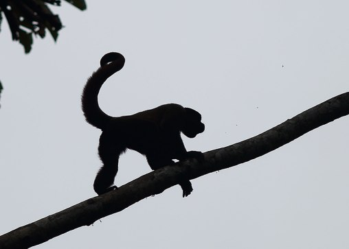 Wooley monkey, Tiputini Biodiversity Station ©KathyWestStudios