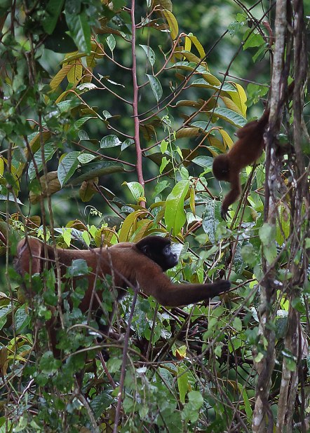 Wooley monkey female and infant, Tiputini Biodiversity Station ©KathyWestStudios