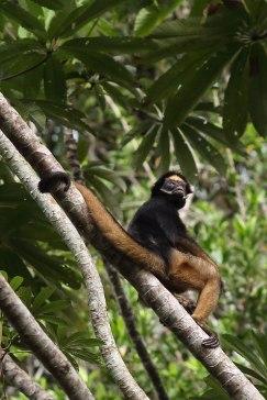 Spider monkey, Tiputini Biodiversity Station ©KathyWestStudios