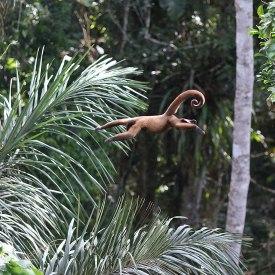 Woolly monkey leap, Tiputini Biodiversity Station ©KathyWestStudios