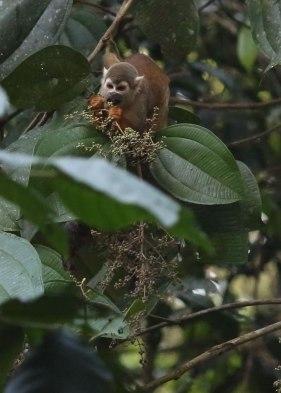 Squirrel monkey, Tiputini Biodiversity Station©KathyWestStudios