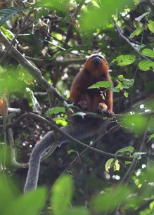 Titi monkey, Tiputini Biodiversity Station ©KathyWestStudios