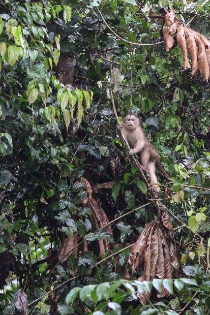 Capuchin monkey ©KathyWestStudios