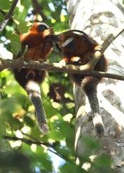 Titi monkey female retrieving infant from male ©KathyWestStudios