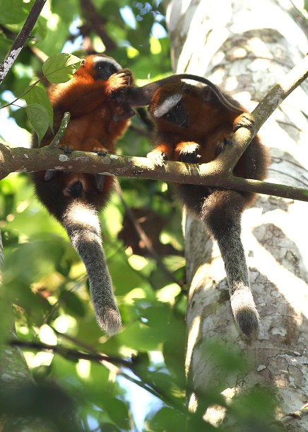 Titi monkey female retrieving infant from male ©KathyWestStudios
