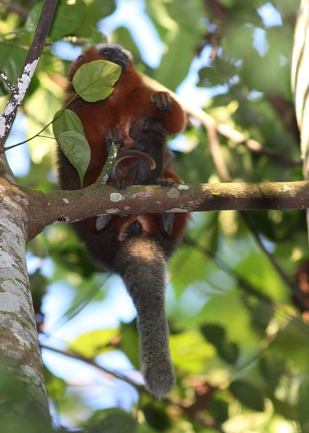 Titi monkey female nursing infant, Tiputini ©KathyWestStudios