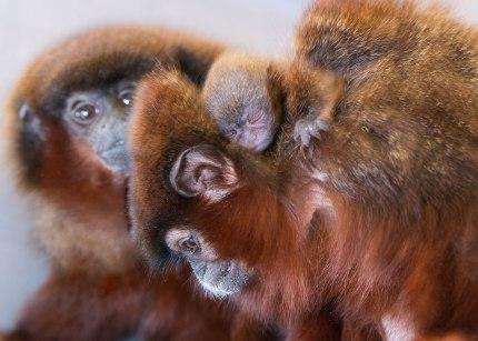 Titi monkey family (Callicebus cupreus) ©KathyWestStudios