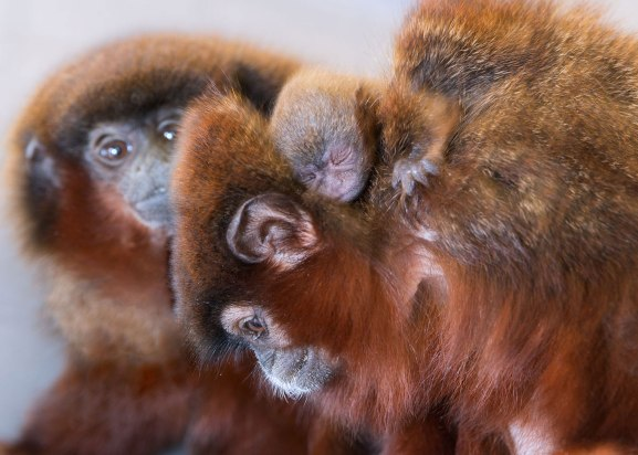 Titi monkey family (Callicebus cupreus). Captive. Calif National Primate Research Center-UC Davis ©KathyWestStudios