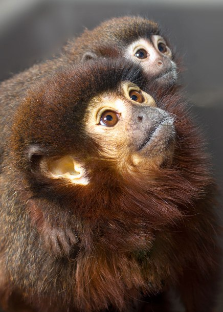 Titi monkey (Callicebus cupreus) father and daughter. Captive. Calif National Primate Research Center-UC Davis ©KathyWestStudios