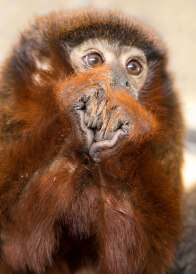 Titi monkey hands (Callicebus cupreus) ©KathyWestStudios
