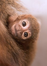 Titi monkey (Callicebus cupreus) 1 month old. Captive. Calif National Primate Research Center-UC Davis ©KathyWestStudios