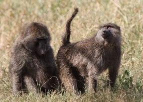 Baboon pair, Tanzania ©KathyWestStudios