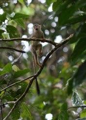 Squirrel monkey, Tiputini Biodiversity Station ©KathyWestStudios