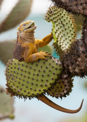 Land iguana, cactus breakfast ©KathyWestStudios