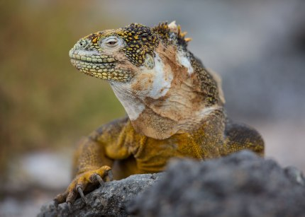 Land iguana ©KathyWestStudios