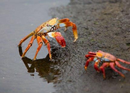 Sally lightfoot crabs ©KathyWestStudios