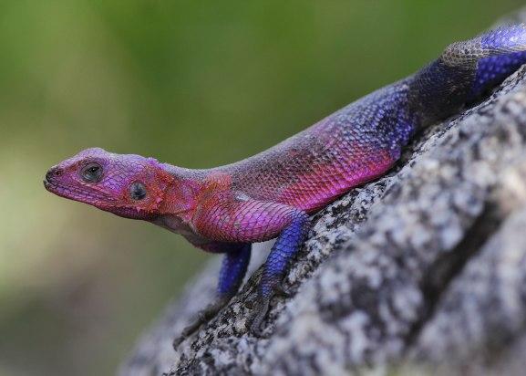 Agama lizard ©KathyWestStudios