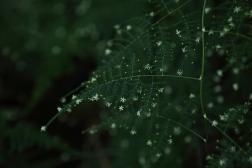 Tawny frogmoFlowering fern, Bermuda, ©2016Kathy West Studios