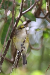 Bermudian white-eyed Vireo, Bermuda, ©2016Kathy West Studios. White-eyed Vireo (Vireo griseus bermudianus) The White-eyed Vireo is commonly known in Bermuda as the 'Chick-of-the-Village'. The Bermudian population of this songbird is an endemic sub-species of the North American White-eyed Vireo. The Bermudian species has shorter wings and is a duller colour than its North American relative.