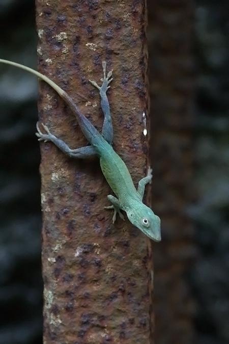 BJamaican anole lizard, ©2016Kathy West Studios