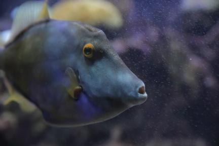Parrot fish, Bermuda, ©2016Kathy West Studios