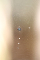 Spider, Bermuda, ©2016Kathy West Studios