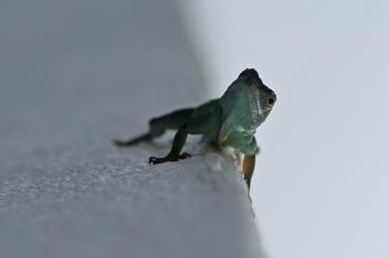 Jamaican anole lizard, ©2016Kathy West Studios