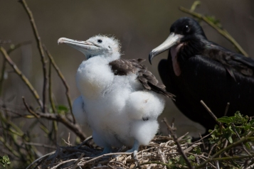 Juvenile Magnificent Frigate bird (Fregata magnificent), Galapagos Islands ©2016KathyWestStudios