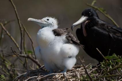 Juvenile Magnificent Frigatebird (Fregata magnificens), Galapagos Islands