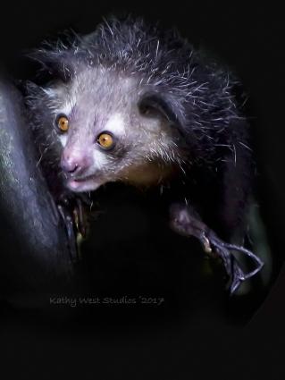 Aye aye lemur (Daubentonia madagascariensis)