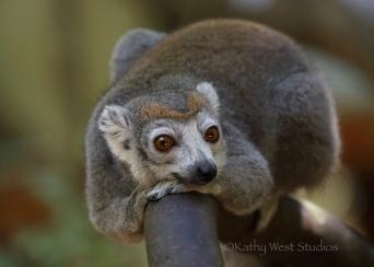 Crowned lemur (Eulemur coronatus), female. Ankarana NP, Madagascar. Kathy West Studios©2017