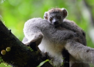 Crowned lemur (Eulemur coronatus), infant. Amber Mountain NP, Madagascar. Kathy West Studios©2017