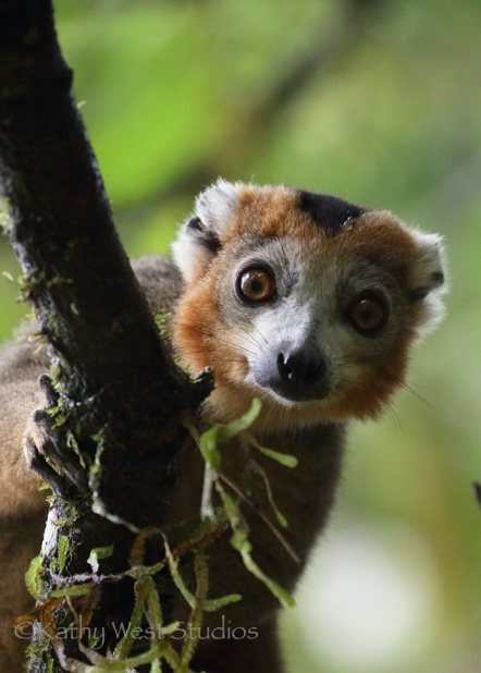 Crowned lemur (Eulemur coronatus), male. Amber Mountain NP, Madagascar. Kathy West Studios©2017