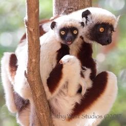 Coquerel's Sifaka (Propithecus coquereli) Ankarafantsika, Madagascar.