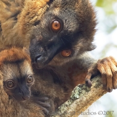 Brown lemur female and infant, Madagascar