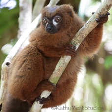 Red bellied lemur, male (Eulemur rubriventer)