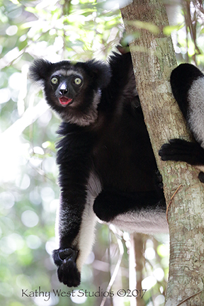Indri indri, Madagascar