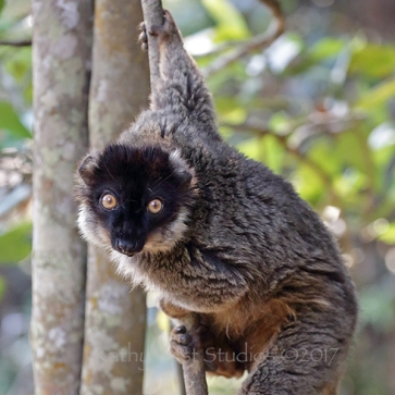 Brown lemur hybrid, Madagascar