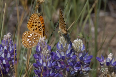 Lupine and butterflies, California