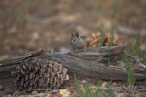 Lodgepole Chipmunk (Neotamias speciosus) Sierra Nevada, California KathyWestStudios©2020