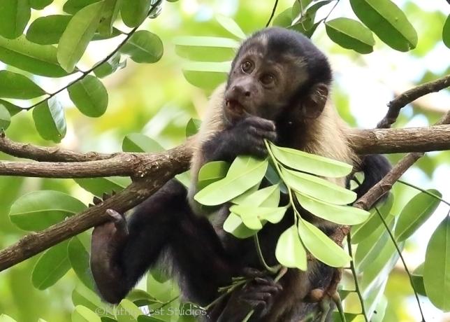 Capuchin juvenile eating bromeliad